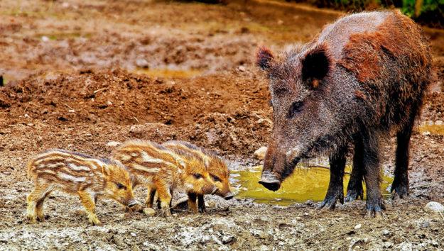 Wildschweine und ihre Frischlinge sehen zwar putzig aus, tragen aber mit zur rasanten Ausbreitung des ASP-Virus bei. Foto: iisjah | Pixabay