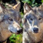 Auf über 35.000 tote Nutztiere durch missglückte Geburt, Krankheit oder andere Ursachen kommen gerade mal 12 Risse durch einen Wolf. Foto: Christels   Pixabay