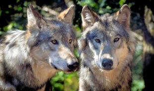 Auf über 35.000 tote Nutztiere durch missglückte Geburt, Krankheit oder andere Ursachen kommen gerade mal 12 Risse durch einen Wolf. Foto: Christels | Pixabay