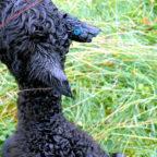 Erst einen Tag alt und schon Grausamkeiten ausgesetzt: Ein Tierquäler schnitt dem Alpaka-Baby die Ohrspitzen ab. Foto: Polizei
