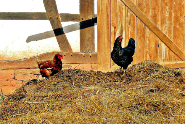 Ein Dorfidyll: Die Hühner picken Körner, der Hahn sitzt ganz oben auf dem Misthaufen. Foto: Pixabay