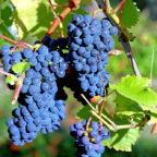Die Trockenheit im vergangenen Sommer ließ die Winzer frohlocken: Pralle, saftige Trauben reiften an den Reben heran. Foto: ©Günther Schneider | Pixabay