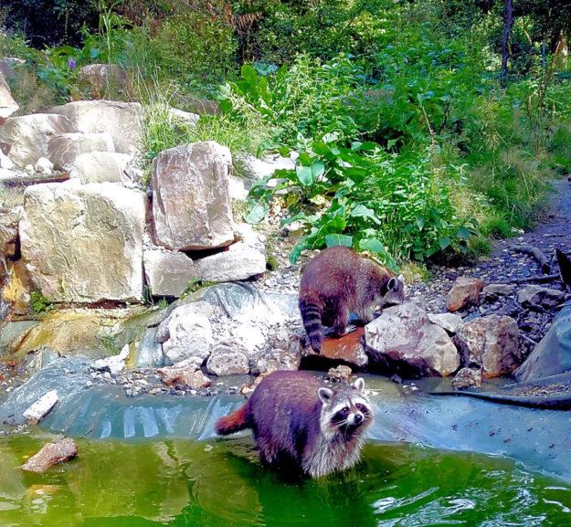 Wie wäre es: Waschbären beobachten und sich neue Märchen über diese putzigen Zeitgenossen ausdenken!? Foto: Wildpark Knüll