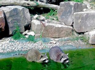 Hauptdarsteller beim Märchennachmittag im Wildpark Knüll: die Waschbären, Foto: Wildpark Knüll