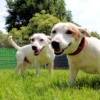 Shanty und Wiesel sind nicht ganz einfach zu führen, weshalb das Tierheim erfahrenere Hundehalter sucht. Foto: nh