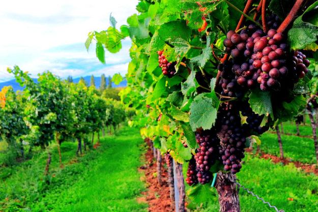 Die Weinlese 2018 hat laut Statistischem Bundesamt, Wiesbaden, einen Ernterekord von plus 38 Prozent erzielt. Foto: Willi Stengel | Pixabay