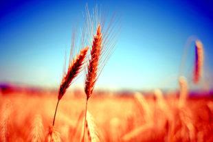 Die Ressourcen werden weltweit immer knapper. Drohen Nahrungsmittelkrisen als neue politische Risiken? Foto: free stock photos | Pixabay