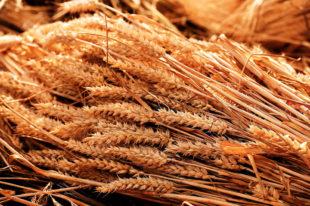 Der bisherige Drusch lässt auf einen Weizenertrag von nur noch 7,4 Tonnen je Hektar schließen. Foto: suju fotografie | Pixabay