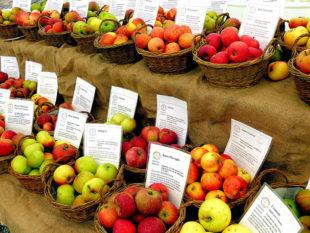 Bei der Vielfalt der Apfelsorten kann man leicht die Übersicht verlieren. Wer mehr über seine eigenen Äpfel erfahren möchte, kann den Apfelexperten fragen. Foto: Tierpark Sababurg