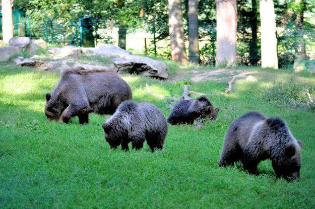 Ab in die Gemeinschaftsanlage. Regelmäßig dürfen sich die Jungbären mit ihrer Mutter Onni unter die Wölfe wagen. Foto: nh