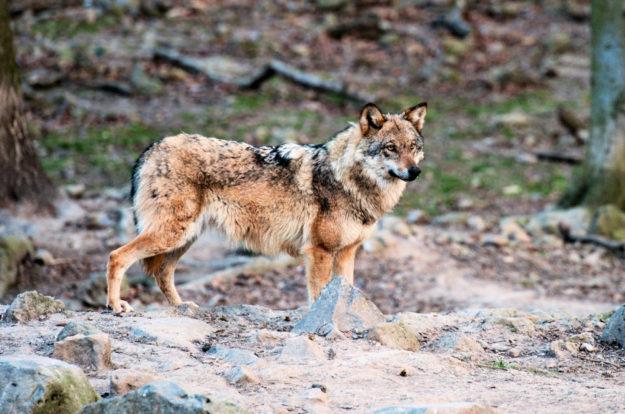 Was führt der Isegrim wohl im Schilde? Antworten gibt's am Wolfstag im Wildpark Knüll. Foto: Wildpark Knüll