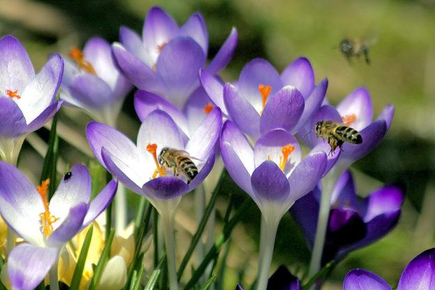 Wenn im Frühjahr noch Nahrungsmangel herrscht, sind die Blüten der Krokusse für Insekten besonders wichtig. Foto: stux | Pixabay
