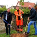 Bauamtsleiter Michael Slabon und Bürgermeister Klemens Olbrich pflanzen den Amberbaum. Stellvertretender Bauhofleiter Viktor Becker half und organisierte die Vor- und Nacharbeiten. Foto: nh