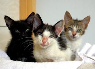 Die vermeintlichen Fundkatzen entpuppten sich als kroatische Urlaubsbekanntschaft. Krankheitskeime drohten eingeschleppt zu werden. Foto: Tierheim Beuern