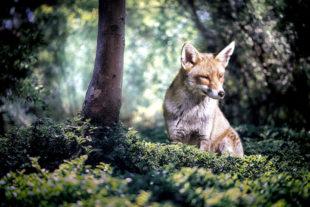 Eingriffe in die Jagdzeiten für rund 20 Tierarten, darunter der Fuchs, halten die Liberalen im Hessischen Landtag für verfassungswidrig. Foto: Ria Sopala | Pixabay