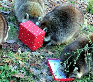 Jungs und Mädels, Bescherung! Die Waschbären im Wildpark haben ein Faible für Weihnachtspäckchen. Foto: Wildpark Knüll