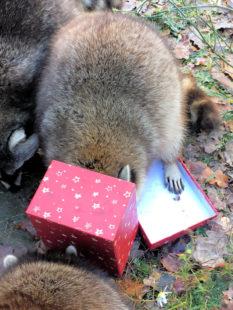 Wenn sich die die kleine Räuberbande in Weihnachtsstimmung befindet, vergisst sie alles andere um sich herum. Foto: Wildpark Knüll