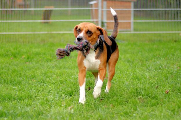 Die freundliche Beagle-Dame Biene sucht Familienanschluss. Foto: nh