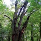 Alte Buchenbestände nicht weiter abzuholzen, ist die Forderung der Niedensteiner Bündnisgrünen. Foto: nh
