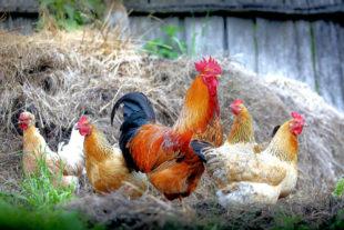 Das liebe Federvieh muss in den kommenden Wochen strikt von Zugvögeln ferngehalten werden, z.B. durch Trennung der Wasserstellen. Foto: klimkin | Pixabay