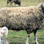 Bei den Schafhaltern im Landkreis kommt die Förderung nun an, sagen die Bündnisgrünen. Foto: congerdesign | Pixabay