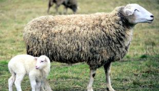 Bei den Schafhaltern im Landkreis kommt die Förderung nun an, sagen die Bündnisgrünen. Foto: congerdesign   Pixabay