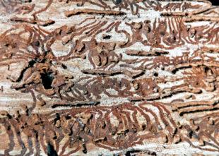 Das Aussehen seines Schadfraßes hat dem Buchdrucker den Namen eingebracht. Besser bekannt ist er als Borkenkäfer. Foto: Foto-Rabe | Pixabay