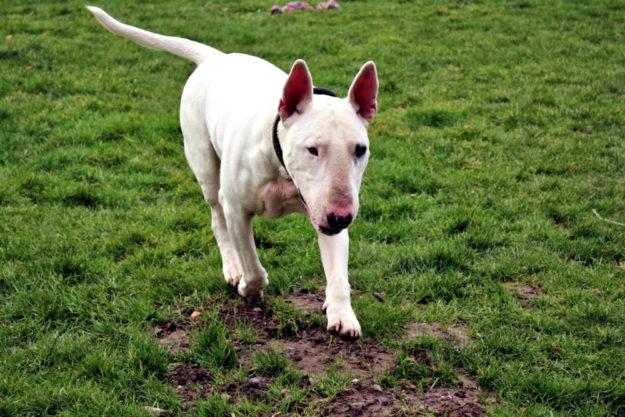 Athos wird als Listenhund geführt und ist ein charaktervoller Zeitgenosse. Foto: nh