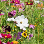 Schön anzusehen und ökologisch wertvoller als ein kurzer Rasen: Eine echte Blumenwiese. Foto: Capri23auto | Pixabay