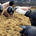 Zu den jüngsten Aussagen bezüglich der Schweinehaltung im Schwalm-Eder-Kreis haben die hiesigen Bündnisgrünen noch ein Wort zu sagen: Die Tierhaltung wie am Fließband ist das Problem. Foto: Andreas Hoffmann