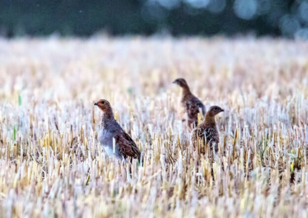 So sieht es aus, wenn Rebhühner in einem Stoppelfeld stehen. Foto: Mike Lauer | Bildjäger