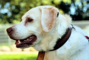 Nach dem Tod seines Herrchens sucht der blonde Labrador-Mischling Aky eine neue Bleibe. Foto: nh