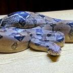 Herrenlose Würgeschlange. Die Polizei in Homberg fragt: Wem gehört das Reptil? Foto: nh