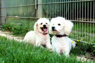 Bonnie und Ricky sind zwei unzertrennliche Pudel, die gemeinsam ein neues Zuhause suchen. Foto: nh