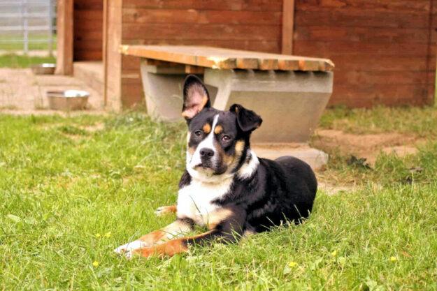 Brahms ist ein noch unerfahrener Junghund. Er braucht ein neues Zuhause, wo mit ihm ausgiebig Hunde-Dinge gelernt werden. Foto: nh
