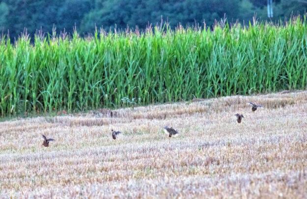 Fünf Rebhühner im Landeanflug. Foto: Mike Lauer | Bildjäger