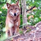 Nach Dafürhalten der FDP-Abgeordneten Wiebke Knell stellen Wölfe ohne Scheu vor Nutztierriss und Wohngebieten eine Gefahr dar. Foto: Marcel Langthim   Pixabay