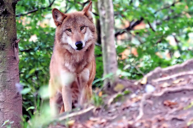 Nach Dafürhalten der FDP-Abgeordneten Wiebke Knell stellen Wölfe ohne Scheu vor Nutztierriss und Wohngebieten eine Gefahr dar. Foto: Marcel Langthim | Pixabay