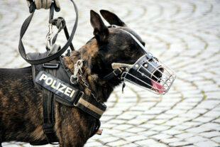 Was die vierbeinigen Kollegen der Polizei so auf dem Kasten haben, demonstriert die Hundestaffel dem Publikum in einer Vorführung. Foto: Wolfgang van de Rydt | Pixabay