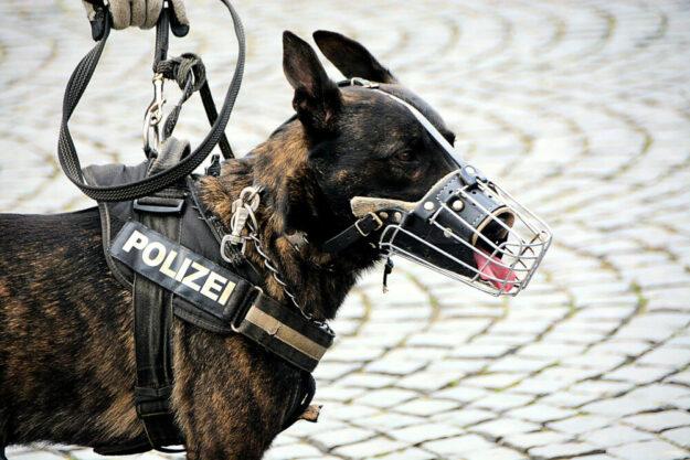 Was die vierbeinigen Kollegen der Polizei so auf dem Kasten haben, demonstriert die Hundestaffel in einer gesonderten Vorführung.  Foto: Wolfgang van de Rydt | Pixabay