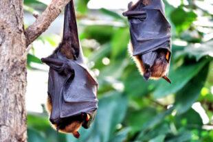 Tagsüber ein bisschen Abhängen, nachts die Runden drehen – was das Leben der Fledermäuse ausmacht, erfahren die Besucher*innen im Wildpark Knüll. Foto: Simon Berstecher