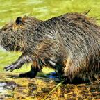 Noch ist nicht klar, ob die Nutria ihr Revier am Gilsbach behalten darf. Nach Worten eines ortsansässigen Jägers können diese Nager – sie werden auch Biberratte genannt – erhebliche Schäden in Uferbereichen anrichten. Foto: Alexas Fotos | Pixabay