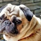 Kurzer Kopf und platte Nase. Beim Mops führt solche Überzüchtung häufig zu lebensbedrohlichen Atemproblemen. Foto: H.B. | Pixabay