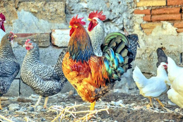 Eine ökologische Tierhaltung gehört zu den Markenzeichen der Modellregion. Foto: nn   Pixabay