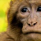 Bei nicht artgerechter Tierhaltung fechten Primaten wie die Berberaffen handfeste Konflikte aus. Foto: nh