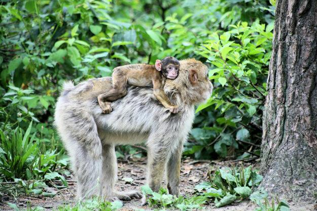 Auch Berberaffen sollen im Alma Erlebnispark ein natürliches Habitat vorfinden. Foto: nh