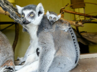 Den Tieren im geplanten Affenpark wird sehr wohl eine artgerechte Haltung zuteil werden, sagt Investorenfamilie Görge. Foto: nh