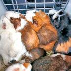 Weil ihr Besitzer ins Krankenhaus musste, gerieten 27 Meerschweinchen in Lebensgefahr. Die Guxhagener Katenhilfe musste einschreiten. Foto: nh
