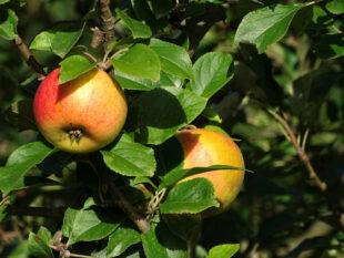 Knackig süße Äpfel sollen der Lohn der Mühe sein. Foto: Markus Neumann