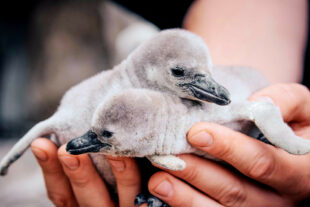 Nachwuchs bei den Humboldt-Pinguinen. Foto: David Selbert